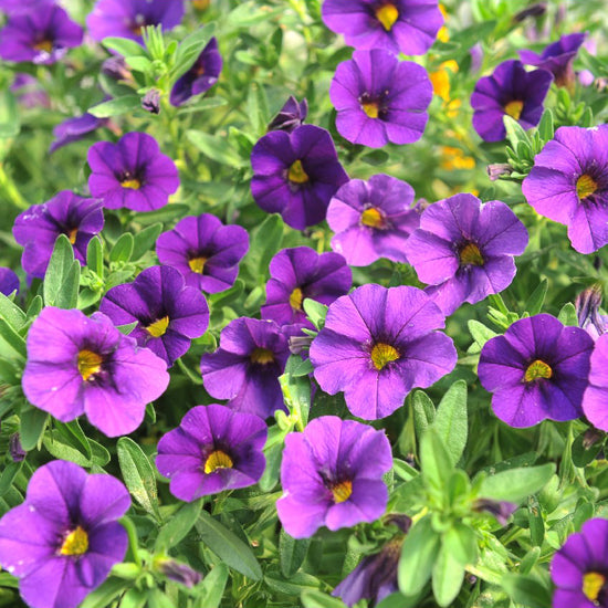 calibrachoa purple
