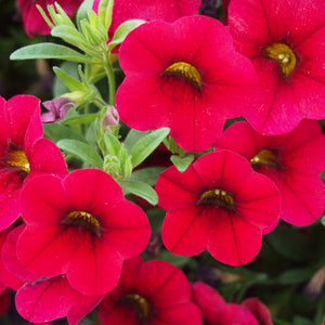 calibrachoa red