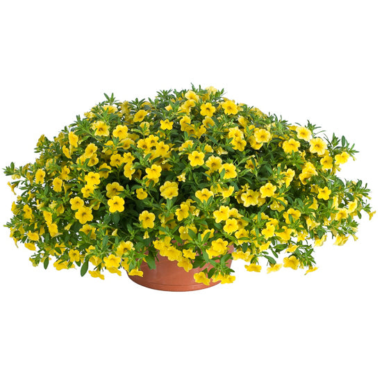calibrachoa yellow
