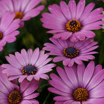 "Load image into Gallery viewer, 4"" Osteospermum"