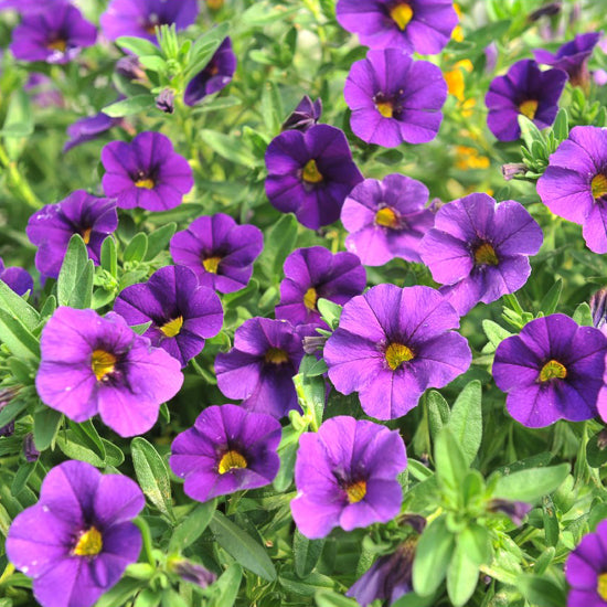 6 pack Calibrachoa