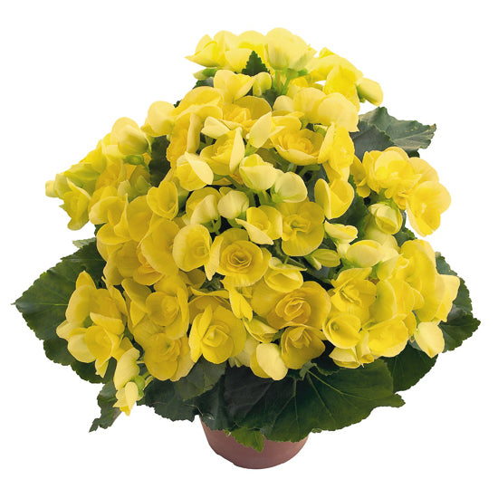 Begonia yellow