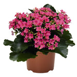 "Load image into Gallery viewer, 6"" Kalanchoe"