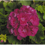 "Load image into Gallery viewer, 10"" Geranium Patio Pot"