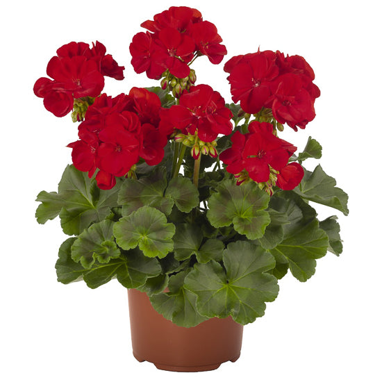 "10"" Geranium Patio Pot"