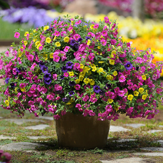 "10"" Calibrachoa Patio Pot"