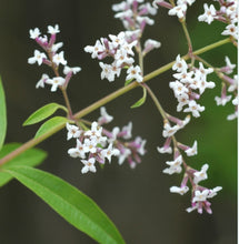 Load image into Gallery viewer, Lemon Verbena