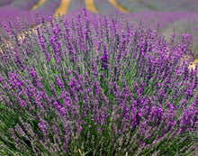 Load image into Gallery viewer, French Lavender
