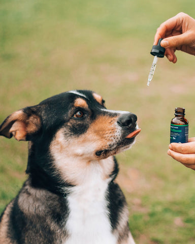 Giving CBD to Pets: An Owner's Guide  CBD may help a wide variety of ailments in cats, dogs and other pets but dosage and quality is important.