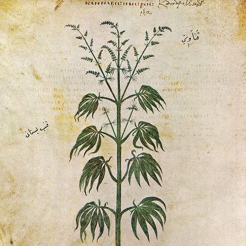 The drawing of a Cannabis Sativa plant from Vienna Dioscurides,  an early Byzantine Greek illuminated manuscript,circa AD 512.