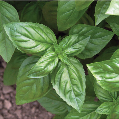 BASIL SEEDS , SWEET GENOVESE, ORGANIC , NON GMO SEEDS, GREAT ALL AROUND BASIL, MAKES EXCELLENT PESTO