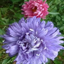ASTER seeds , GIANTS of california seeds organic, beautiful vivid bright blooms