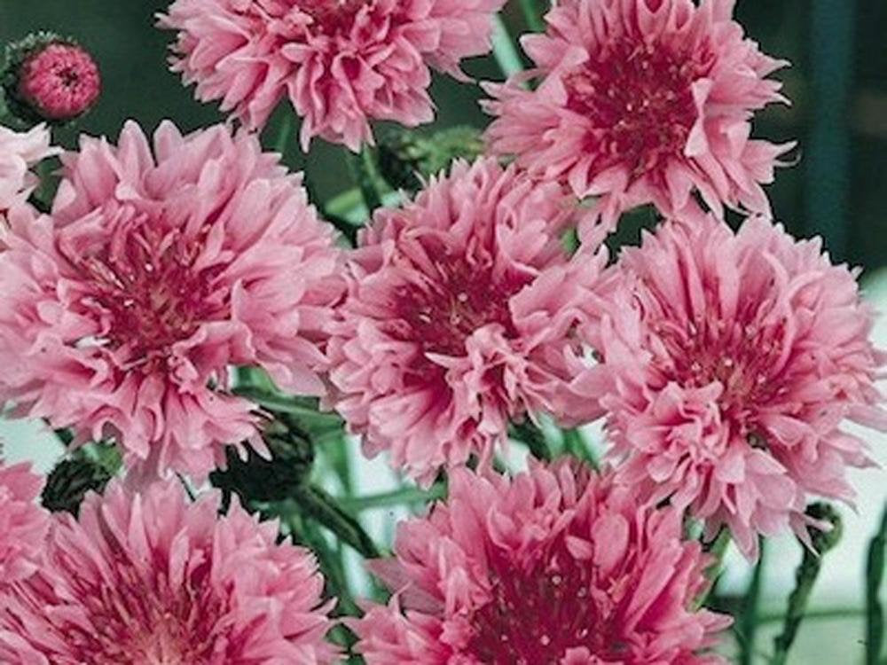 Bachelor Button, Tall Pink Seeds, Organic Seeds, Beautiful Bright Blooms,