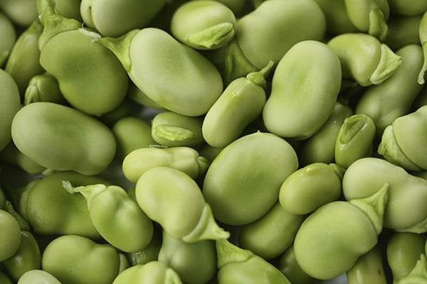 Bean Seed , Fava Windsor Bush, Heirloom, Organic, Non Gmo Seeds, Tasty, Buttery N Healthy