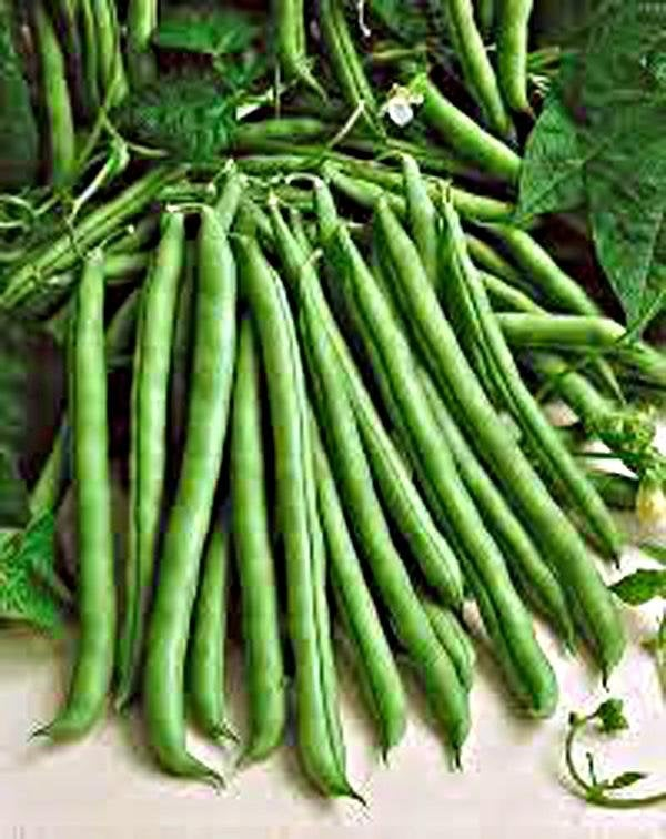 Bean,seeds ,  Blue Lake Green Bean, Heirloom, Organic, Non Gmo Seeds, A Terrific Bean