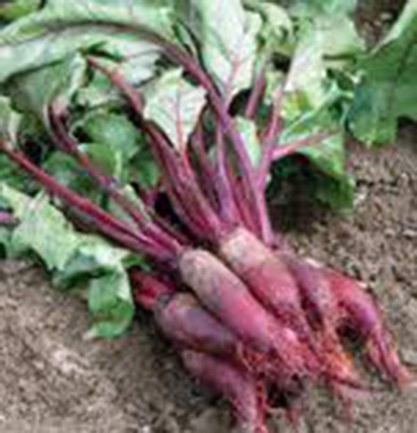 Beets, Cylindra, Heirloom, Organic, Non Gmo Seeds, Tender N Sweet, Cylindrical Shape