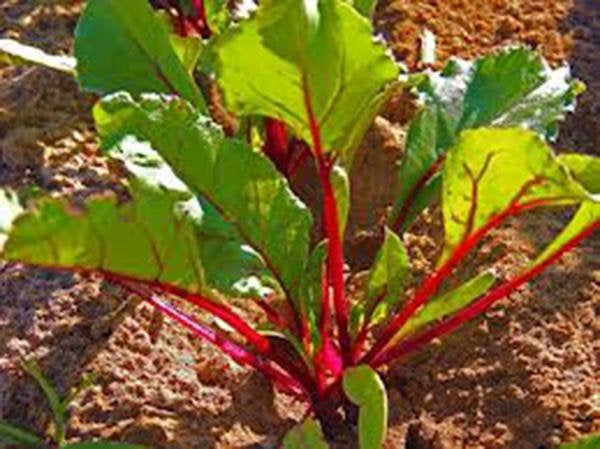 Beets,ruby Queen, Heirloom, Organic, Non Gmo Seeds, Tender And Sweet, Deep Red