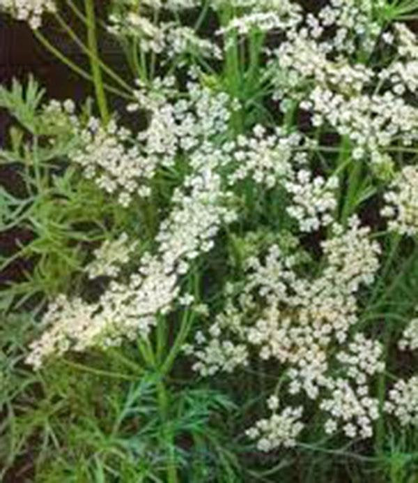 Carraway, Herb Seeds Organic, Can Use Seeds, Plant And Roots On This Herb