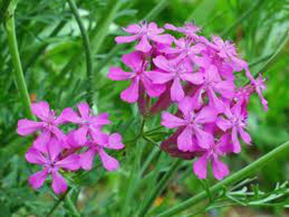 Catchfly Flower Seeds,   Beautiful, Crimson-rose/Pink  Blooms .