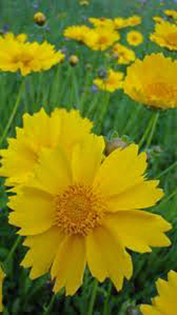 Coreopsis, Lanceleaf Flower Seeds,100 seeds Beautiful Golden-yellow Blooms.