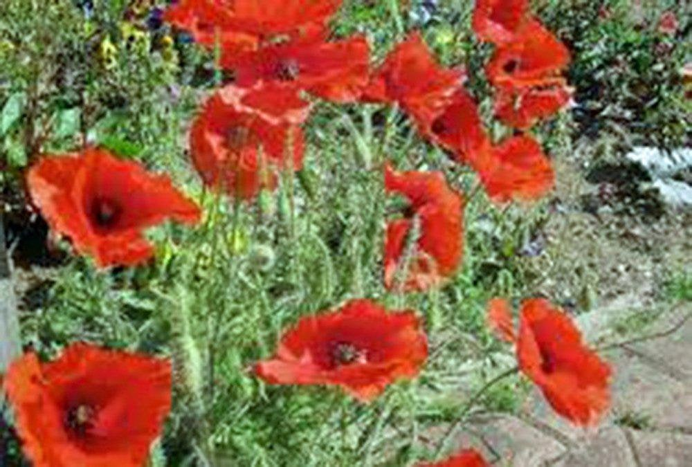 Corn Poppy Seeds  Flower Seeds Organic, Brilliant Red Flower, Beautiful Red Blooms