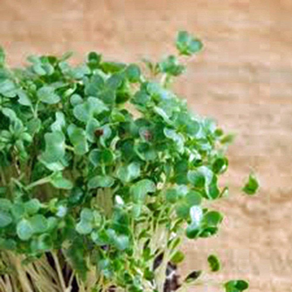 Curled Cress Seed, Sprouts, Heirloom, Organic NON-GMO, Seeds, Broadleaf, Micro Greens
