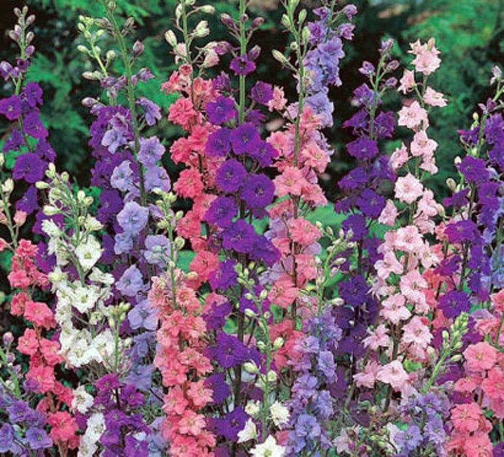 Delphinium Seed, Seeds, Giant Imperial Mix, Organic, Striking Mixed Colors