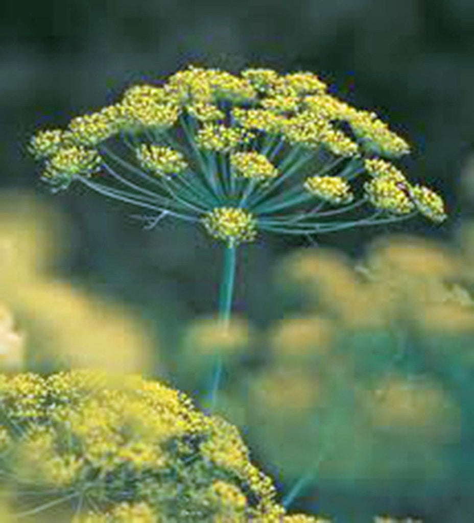 Dill Seed, Mammoth Long Island, Heirloom, Organic, NON-GMO Seeds, Herb Fresh or Dried