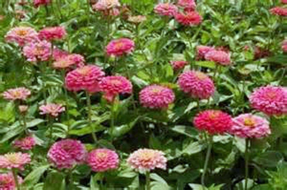 Exquisite Zinnia Seeds Flower Seeds, Organic, Beautiful Bright Crisp Colors