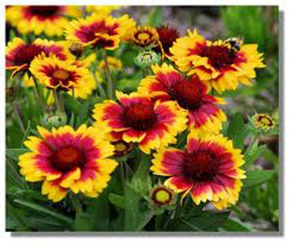 Gaillardia Blanket Flower ,Seeds  Seeds Organic, Beautiful Bright Large Cut Flower