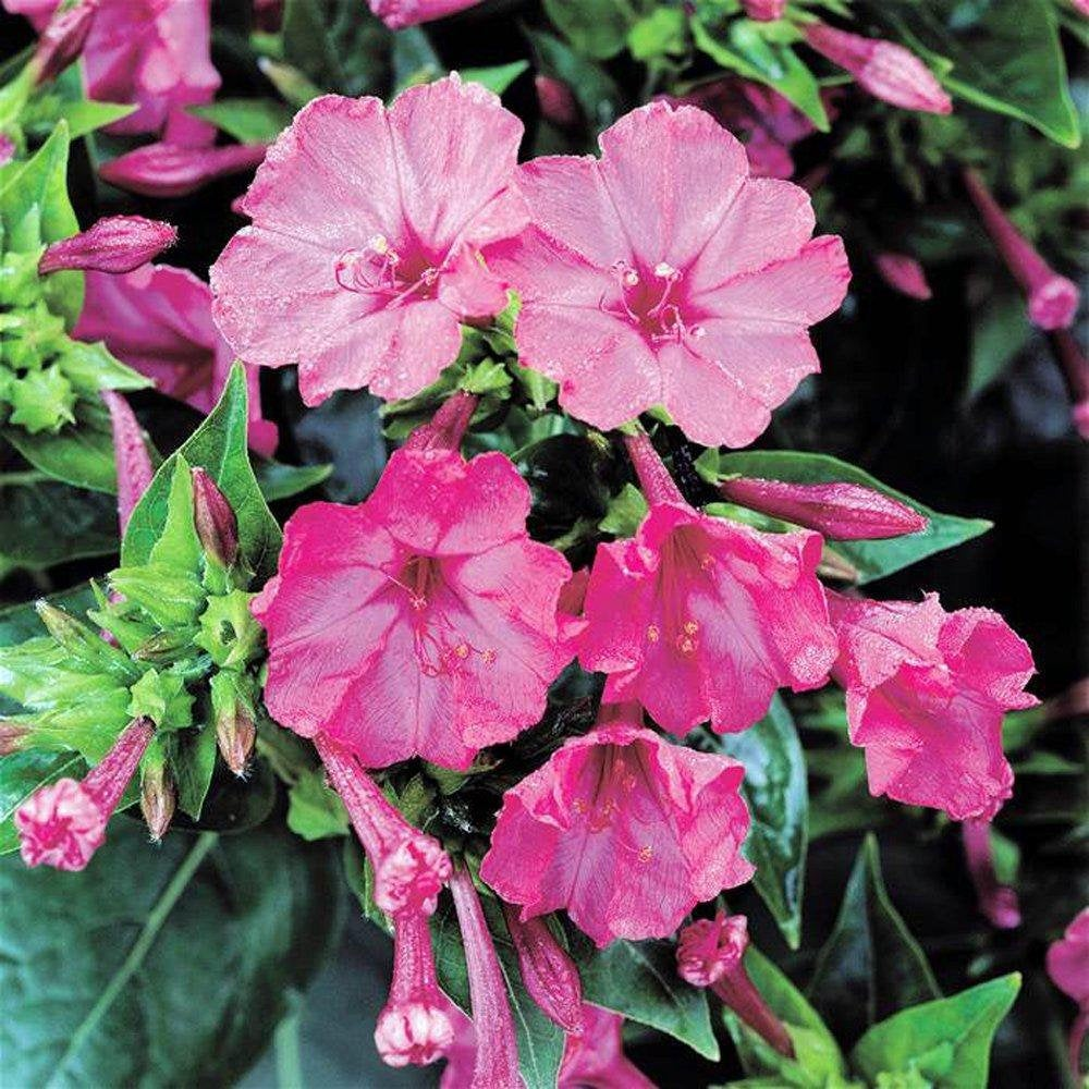 Four O'clock Pink Seeds, Flower Seeds,  Organic, Beautiful Vivid Pink Colored Bloom