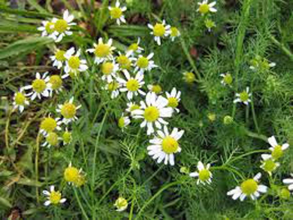 German chamomile Seeds  ,Heirloom, Organic, NON-GMO,  German chamomile Seeds
