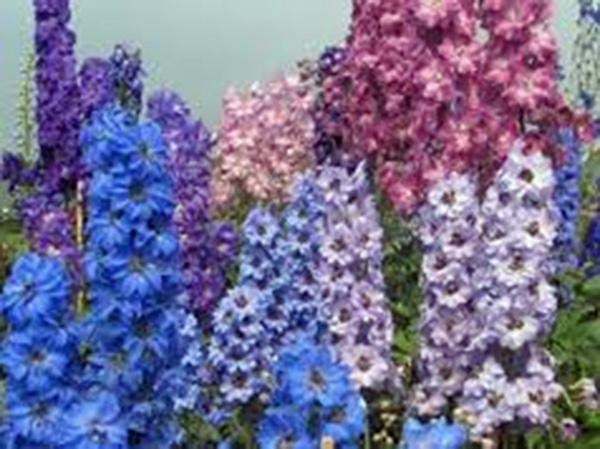 Larkspur, Giant Imperial Seeds Organic Newly Harvested, A Great Cut Flower
