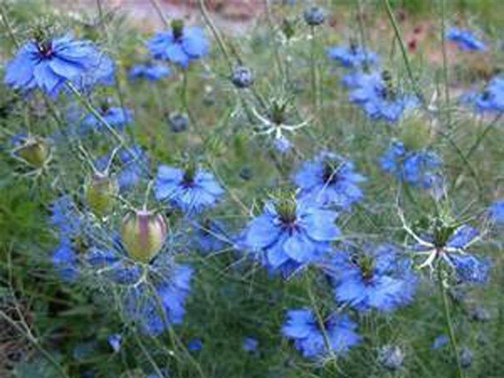 Love In A Mist Seeds , Flower Seeds ,  Beautiful Blue Flower