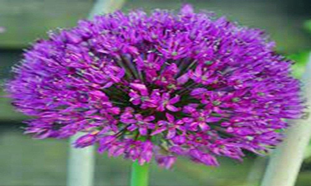 Allium,  Purple Sensation Allium Flower bulbs,