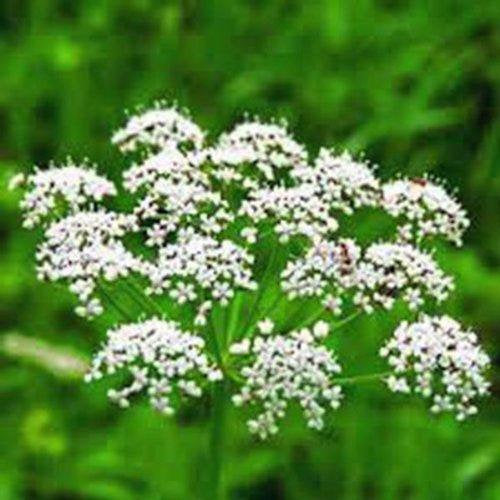 Anise, Herb  Seeds, Organic, NON GMO  Smells Great, Tastes Great