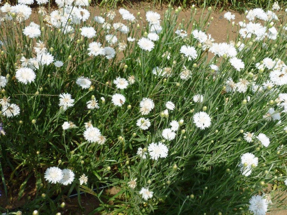 Bachelor Button Seeds, Tall White Seeds, Organic, seeds, Beautiful White colored Blooms.