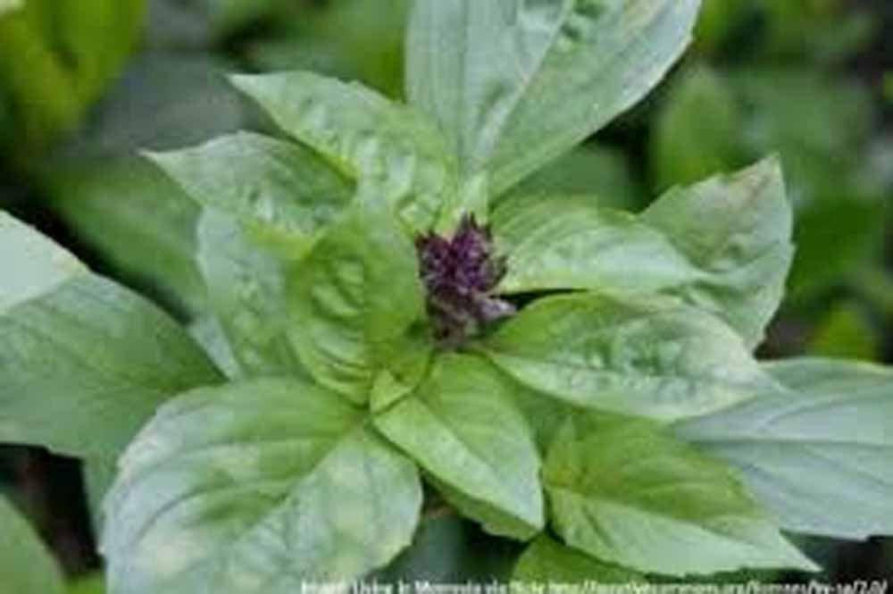 Basil , Cinnamon, Organic, NON GMO, seeds , has a spicy, fragrant aroma and flavor