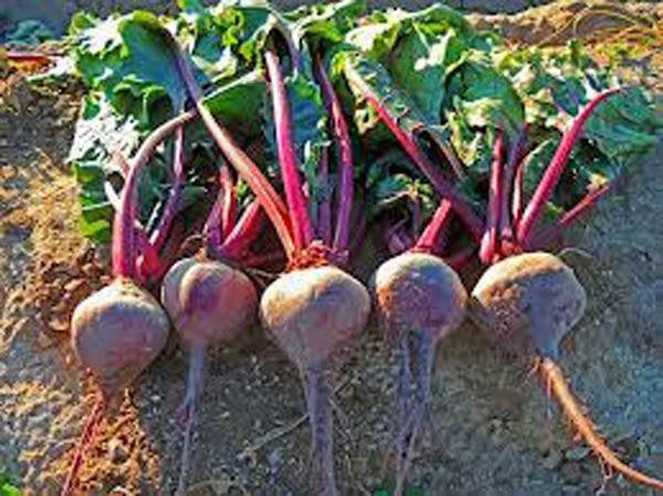 Beets, Early Wonder, Heirloom, Organic, Non Gmo Seeds, Fast Growing And Tasty Beet