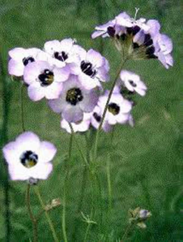 Bird's Eye Gilia Tricolor Seeds Organic, Beautiful Delicate Lavender Blooms