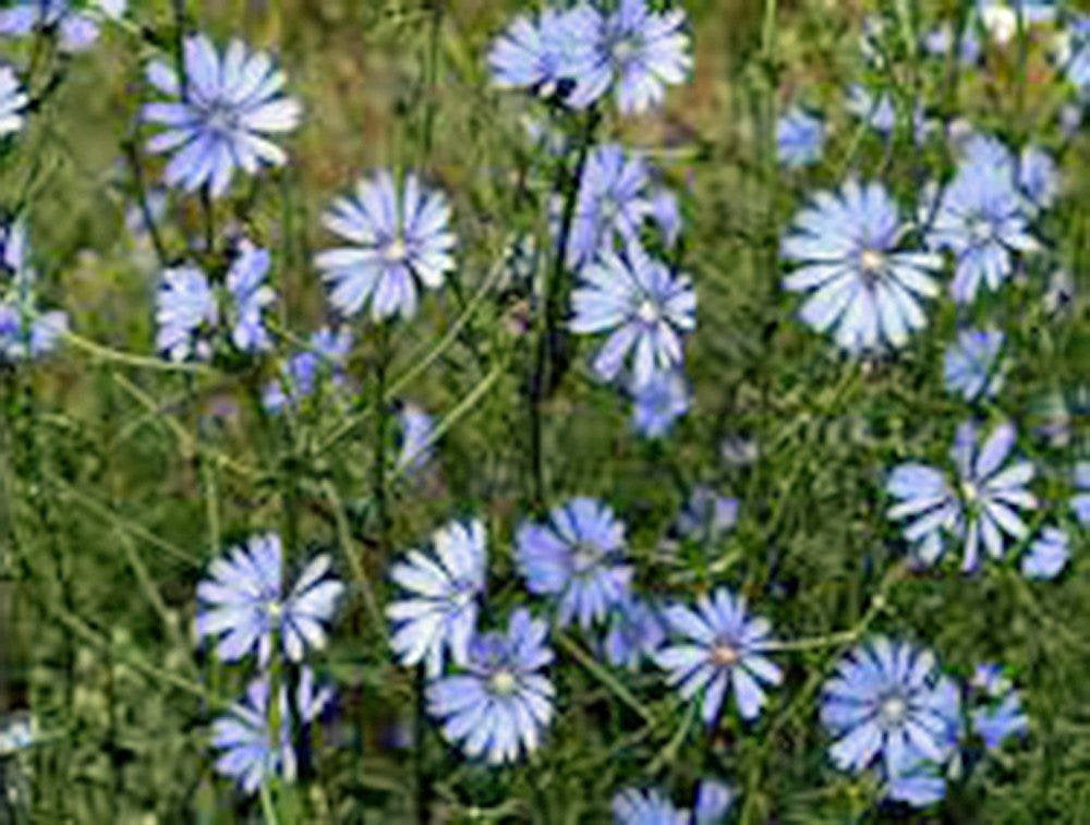 Bluest Blue Chicory Seeds Organic, Beautiful Blue Cut Flower