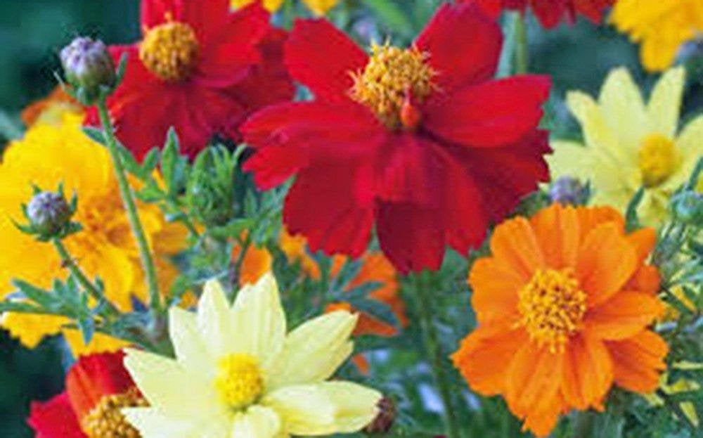 Bright Lights Cosmos Seeds Organic Newly Harvested, Beautiful Bright Flower