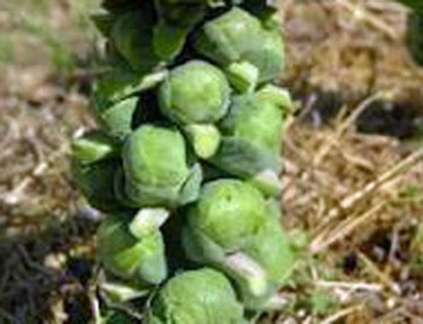 Brussel Sprouts, Catskill, Heirloom, Organic, Non Gmo Seeds, Delicious Little Cabbage