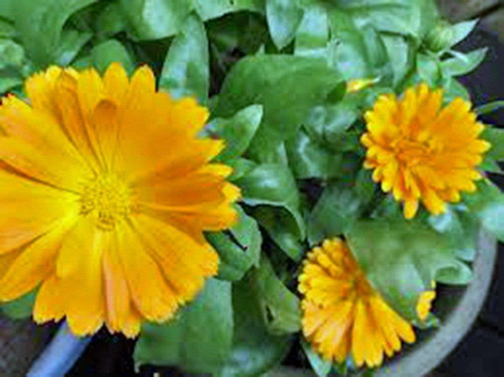 Calendula Seeds Organic Newly Harvested, Beautiful Vivid Golden Blooms