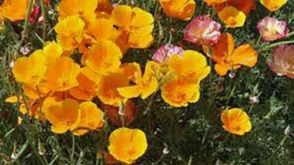 California Poppy Seeds Organic Newly Harvested