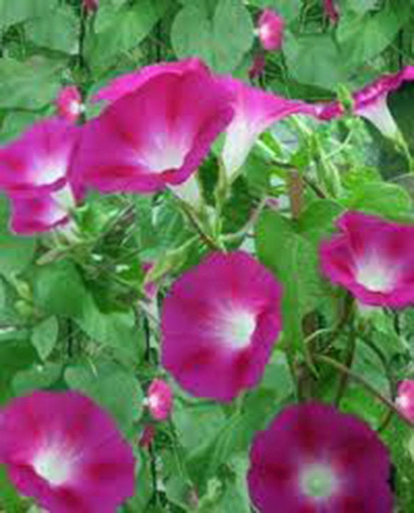 Candy Pink Morning Glory Seeds Organic, Beautiful Season Long Blooms