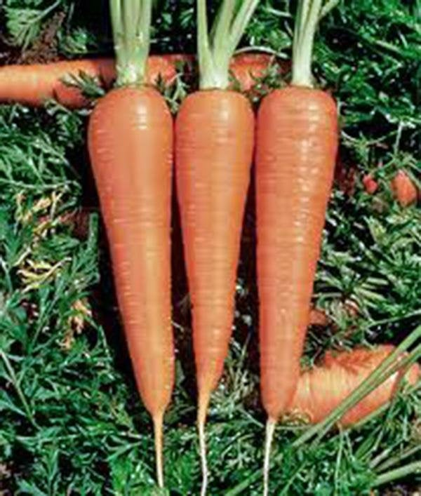 Carrot, Danvers 126, Heirloom, Organic, Non Gmo Seeds, A Delicious And Healthy Vegetable
