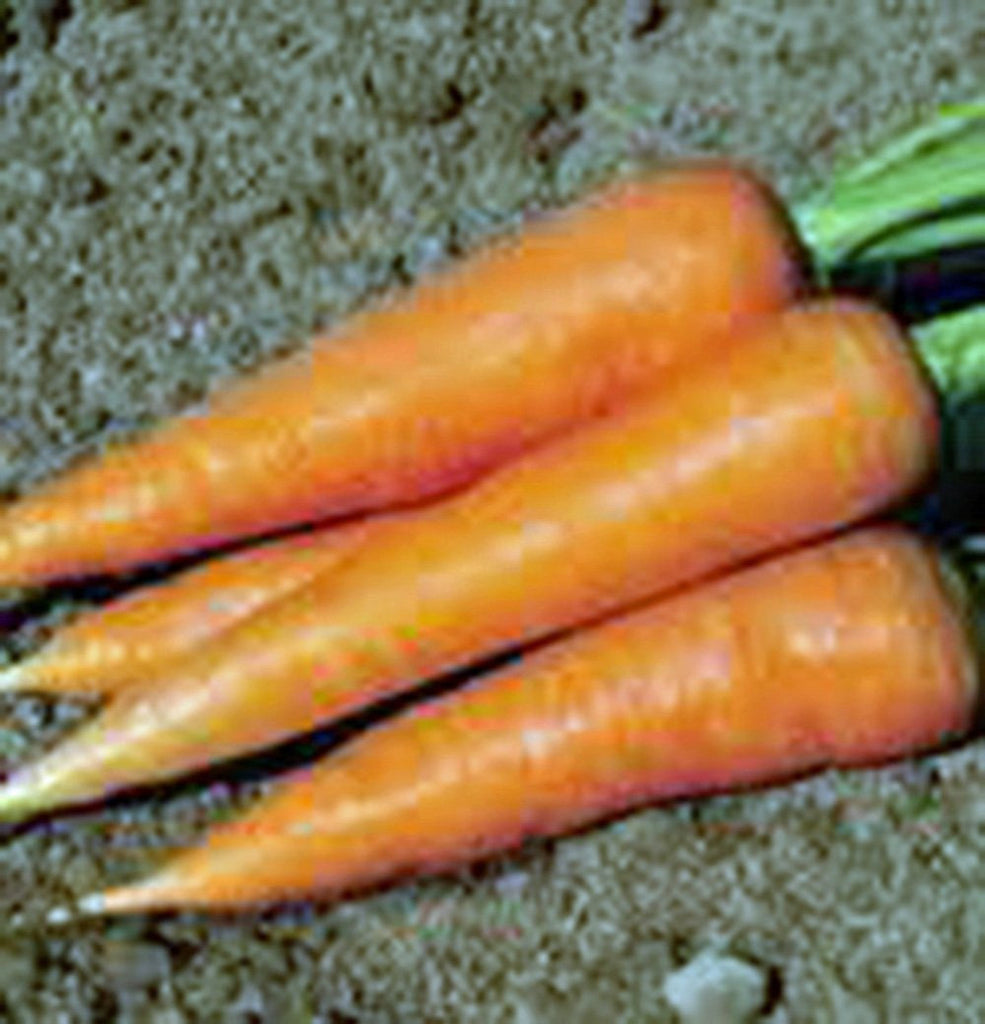 Carrot, Scarlet Nantes, Heirloom, Organic NON GMO Seeds, Tasty Carrot for Snacks