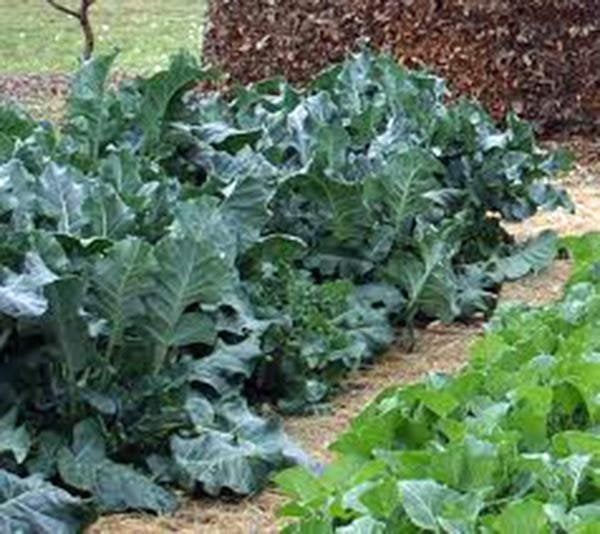 Collard Greens, Vates, Heirloom, Organic Non Gmo Seeds, Great For Salads, Cooking