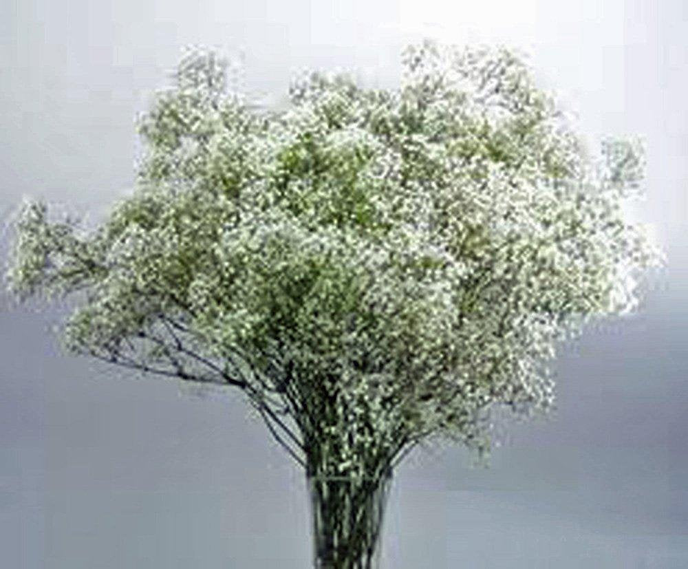 Baby's Breath Seeds Organic Newly Harvested, Beautiful Snow Like Blooms